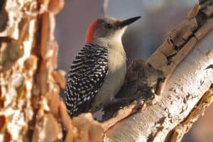 The 7 Types of Woodpeckers in Ohio (Pictures and Facts)