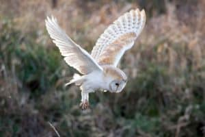 8 Species of Owls in New Jersey (Pictures)