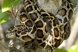 7 of the Most Invasive Reptiles in Florida