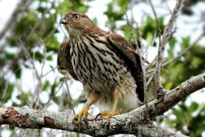 8 Species of Hawks in Oregon (With Pictures)