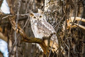 Owls in Oregon (See the 15 Different Species)