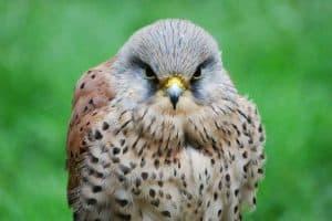 Falcons in Ohio (3 Amazing Species)