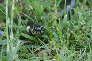 Black Snakes in Florida (11 Species With Pictures)