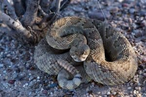 List of Venomous Snakes Found in Each U.S. State
