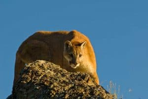 What To Do if You Encounter a Mountain Lion - 8 Tips