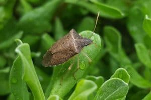 How Do Stink Bugs Get in the House? (7 Common Ways)