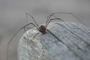 Are Daddy Long Legs Dangerous? - Myth or Fact