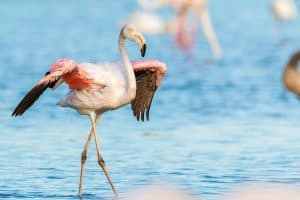 Can Flamingos Fly? (Interesting Facts and Pictures)