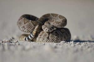 What to Do If You Encounter a Venomous Snake (7 Tips)