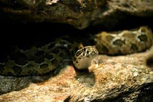 Do Snakes Hibernate?