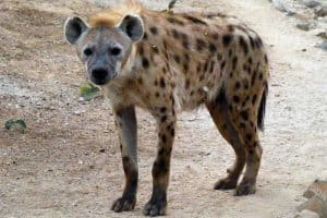 Are Hyenas Dogs or Cats?
