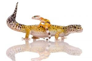 How to Care For a Baby Leopard Gecko (6 Helpful Tips)