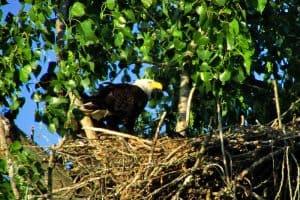 Bald Eagle Population (Estimates For Each State)