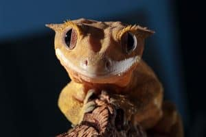 20 Facts About Crested Geckos