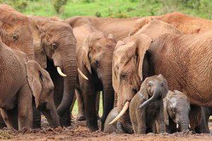 11 Biggest Land Animals (Pictures)