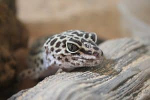 What Do Leopard Geckos Need in Their Tank? 6 Things to Remember