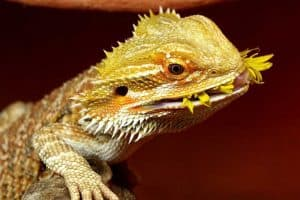 What Not to Feed Bearded Dragons (21 Things)