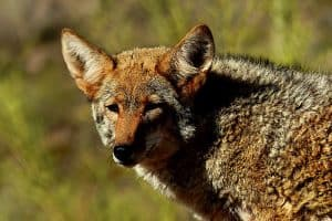 Coyotes in Florida (What to do If You See One)