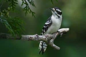 8 Species of Woodpeckers in Nebraska (Pictures)