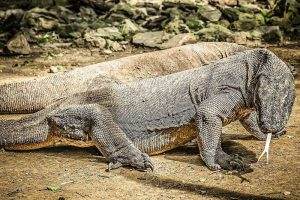 Can You Have a Komodo Dragon as a Pet?
