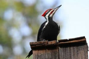 Woodpeckers in Oregon (Here Are 13 Species)