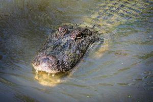 12 Animals That Live in the Swamp (with Pictures)