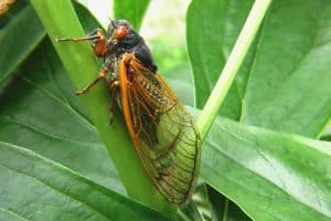18 Interesting Facts About Cicadas