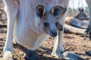 12 Types of Marsupials (Facts, Pictures, Examples)