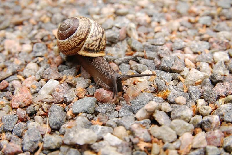 snail mollusc mollusk