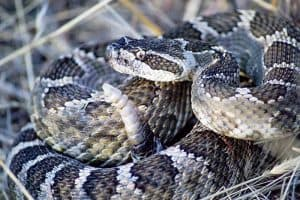 14 Rattlesnakes in Arizona (With Pictures)
