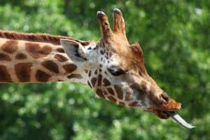 15 AWESOME Animals With Long Tongues (Pictures)
