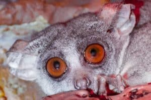 15 Cute and Unique Animals With Big Eyes(Pictures)