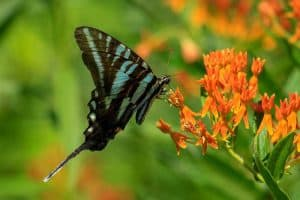 9 Common Butterflies in Florida (With Pictures)