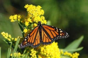 12 Common Butterflies in Texas (With Pictures)