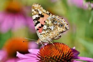 15 Types of Butterflies in Michigan (Pictures)