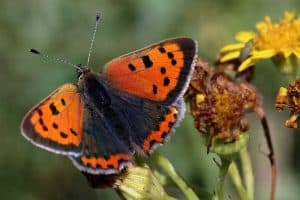 Do Butterflies Migrate? (Answered With Examples)