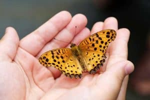Why Do Butterflies Land on You? (Answered)