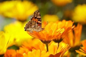 5 Reasons Why Butterflies Are Important & How to Help