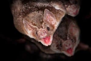16 Species of Bats in Texas (With Pictures)