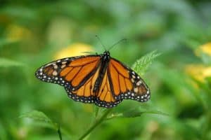 18 Types of Butterflies in Arizona (With Pictures)