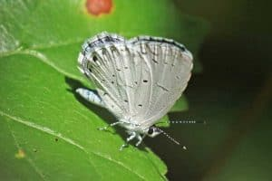 15 Types of Butterflies in North Carolina (Pictures)
